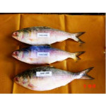 Fresh Water Frozen Fish Hilsa (0002 / O / 09)