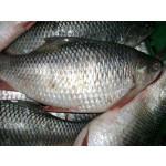 Fresh Rohu Fish From Myanmar