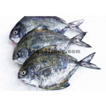 White/Black Pomfret Marine product in Myanmar