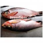Frozen Rohu Marine Products in Myanmar