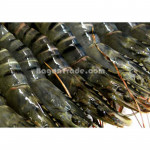 Black Tiger Prawn of Kunn Anawah in Myanmar
