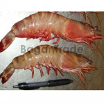 Sea Tiger Shrimp in Myanmar