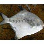 Myanmar Frozen Silver Pomfret Fish
