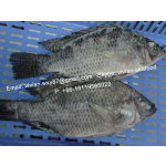 Offer China Frozen Black Tilapia Fish Gutted and Scaled (Oreochromis Niloticus) for sale