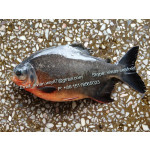 Offer China Frozen Red Pomfret Fish / Red Pacu (Colossoma Brachypomum) for sale