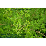 SVM EXPORTS INDIA Moringa Tea Cut Leaf Traders