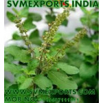 Ocimum Sanctum Leaves Exporters India