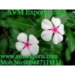 Cathaanthus Roseus Exporters India
