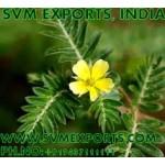 Ocimum Sanctum Leaves Exporters