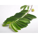 Graviola Leaf Exporters India