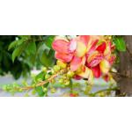 Sal Gum Tree Exporters India