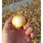 GlobalGAP Certified Onions - Netherlands Variety (Trophy & Pirate)