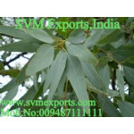 Eucalyptus Leaves Exporters India