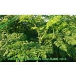 Organic Moringa Tea Cut Leaf Exporters