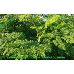 Organic Moringa Tea Cut Leaves Exporters