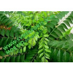 Curry Leaves Exporters India